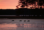 Sika deer feeding at dusk, Chincoteague National Wildlife Refuge, Virginia