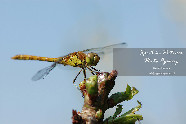 A Common Darter Dragonfly on a cherry tree