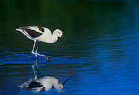 506853105 a wild american avocet recurvirostra americana forages in a shallow lagoon along the pacific coast in san diego county california