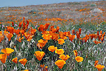 California Poppy / Eschscholzia californica