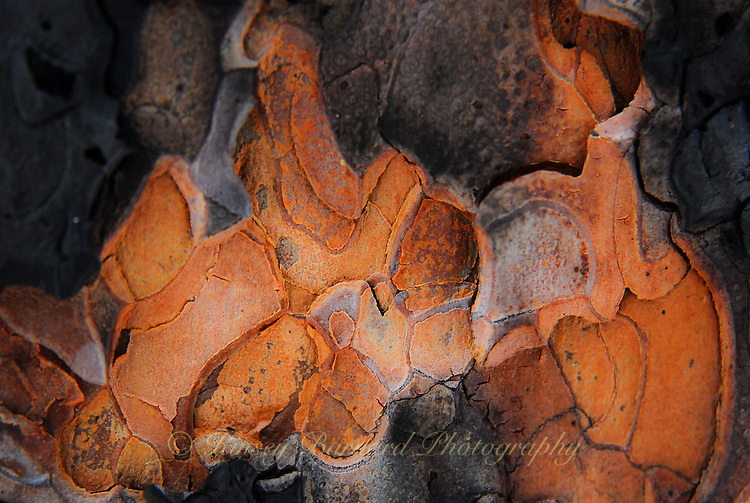 &quot;SURVIVOR&quot;<br /> <br /> Natural designs found in the bark of Ponderosa trees. A small patch of bark that survived a forest fire.