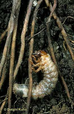 1C08-006b  June Beetle - larva, grub - Phyllophaga spp.