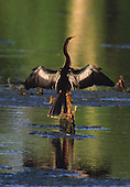 (Anhinga anhinga) female, Brazos Bend State Park, Texas, USA