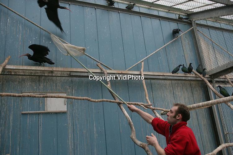 Foto: VidiPhoto..RHENEN - In Ouwehands Dierenpark in Rhenen is donderdag gestart met het inenten van de vogels tegen vogelgriep. In Ouwehands moeten de meeste vogels geënt worden, ruim 700 stuks, en het is tevens de laatste dierentuin waar nog geënt moet worden. Naast het enten, werd bij de vogels tevens een transponder geplaatst en bloed afgenomen.