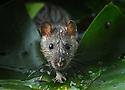 UK. Brown rats of Battersea Park.