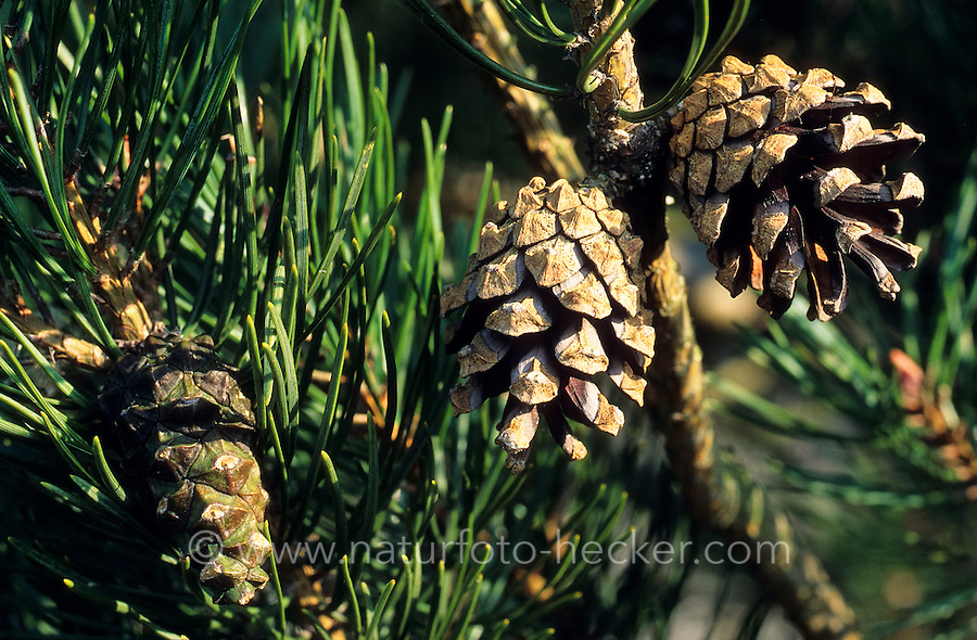 Wald-Kiefer, Waldkiefer, Gemeine Kiefer, Föhre, Nadeln und Zapfen, Pinus sylvestris, Scots Pine