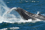 tail lobbing by humpback whale
