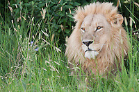 Animal portrait of an African lion sitting in the tall grass, Botswana, Africa