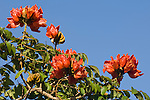 Grand Bahama Island, The Bahamas; an African Tulip Tree (Spathodea campanulata) with red flowers against a blue sky