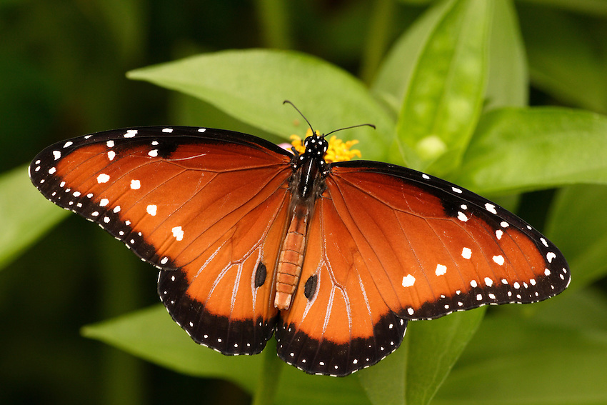 Queen Butterfly (Danaus gilippus) | Howard Cheek Photography Queen Butterfly Vs Monarch