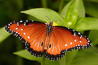 The Queen is a close relative of the Monarch butterfly, which is far more orange and much larger.
