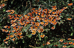 Monarch butterflies cluster together on an evergreen bough.