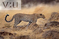 An adult Leopard on the prowl. ,Panthera pardus, Masai Mara, Kenya