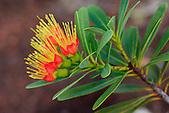 Xanthostemon aurantiacus, plante endémique du maquis minier calédonien