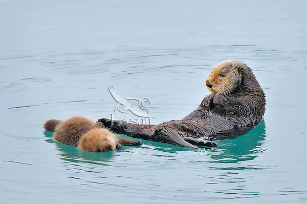 Alaskan or Northern Sea Otter (Enhydra lutris) mom with young pup.