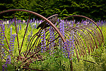 Lupines surround a rusted farm implement in Sugar Hill, NH, USA