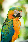Hybrid macaw, Ara sp. Captive at Zoo Ave, a zoo near San Jose, Costa Rica, specializing in native birds.
