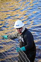 Scottsdale, Arizona (January 12, 2013) - As part of a seven-year plan to dry up all portions of its 131-mile canal system, Salt River Project (SRP), relocated the White Amur fish they used as an environmentally friendly and cost effective alternative to herbicides and heavy machinery for vegetation control. In this image, a worker inside the canal stretches wire fence used to create a physical barrier for fish, so they can be corralled and gather for transport to another section of the canal. Photo by Eduardo Barraza © 2013