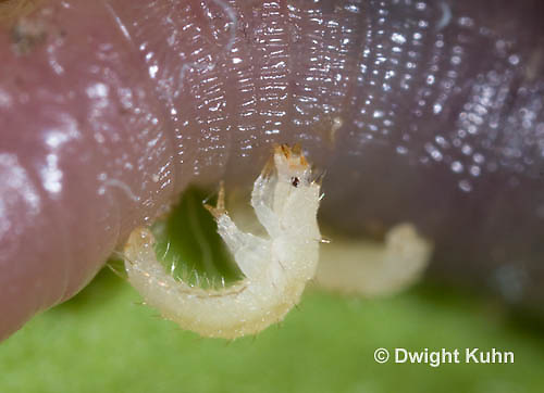 1C24-609z   Firefly Larva eating worm - Lightning Bug - one day old young - Photuris spp.