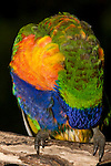 A Rainbow Lorikeet preens itself after a rain-shower, Brisbane, Australia.  //  Rainbow Lorikeet - (Psittacidae: Trichoglossus haematodus) Length to 35cm; wingspan to 46cm; weight to 130g. The green areas of its plumage turn brown when saturated with water, and return to green when dry, indicating that green is a structural colour caused by interference with the wavelength of light, rather than a pigment embedded in the feather. Found in coastal regions in northern and eastern Australia from the Kimberley Region in northern Western Australia (Red-collared Lorikeet) to eastern South Australia. Occurs in forests, woodlands and rural and urban areas. Feeds mainly on nectar and pollen which it gathers with its brush-tipped tongue. Aviary-escapees are established in many towns and cities. Now occurs in south-west Western Australia, New Zealand, Hong Kong.  Widespread with many subspecies - often with a different name - from eastern Indonesia (Maluku = Molucca Islands) through New Guinea east to Vanuatu and New Caledonia, north through Manus and the Admiralty Islands the Philippine Islands (taxonomy of the group is not yet finalised and this may be a different species).  Common.  //Eric Lindgren//