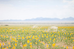 Rare rain quickly turns parts of the Namib Desert into flower fields.