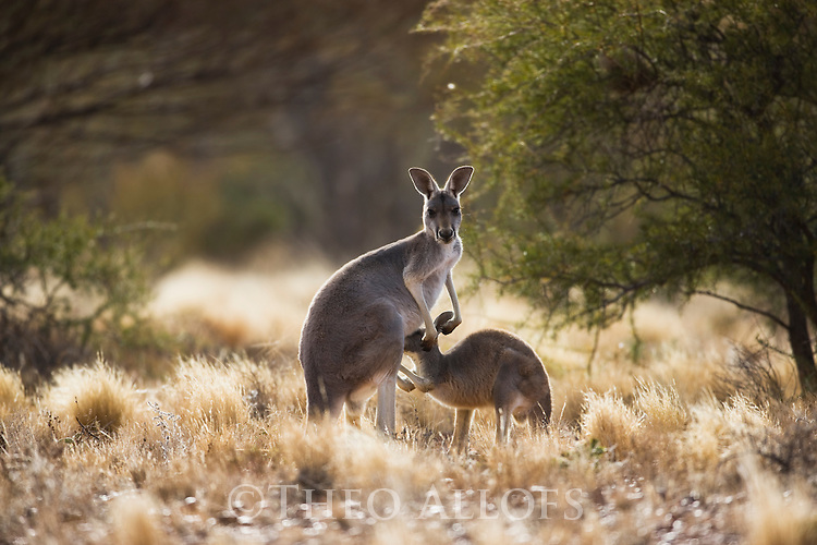 Australia,  NSW, Sturt National Park; red kangaroo (Macropus rufus) nursing joey; the red kangaroo population increased dramatically after the recent rains in the previous 3 years following 8 years of drought