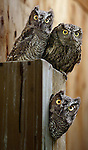 Screech owls peer out from their flight cage at the Wildlife Care Center of the Portland Audubon. It is their hope that all animals be returned eventually to the wild though unfortunately that is not always the case...