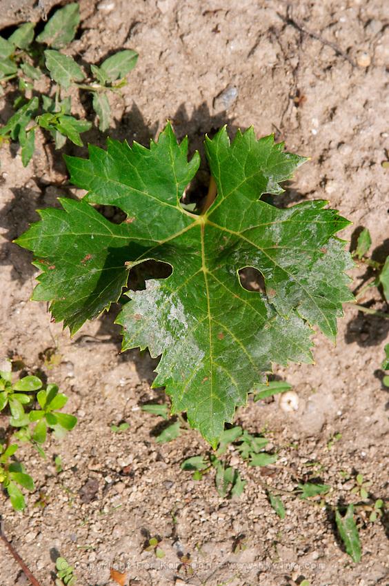 Vine leaf. Cabernet Franc. Clos Saint Julien, Saint Emilion, Bordeaux, France
