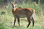Nilgai, Boselaphus tragocamelus, female, Keoladeo Ghana National Park, Rajasthan, India, formerly known as the Bharatpur Bird Sanctuary, UNESCO World Heritage Site, antelope, Blue bull.India....