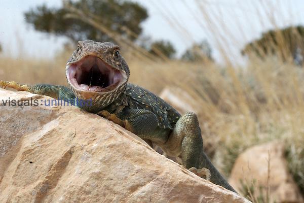 An Eastern Collared Lizard from Arizona threat displaying.