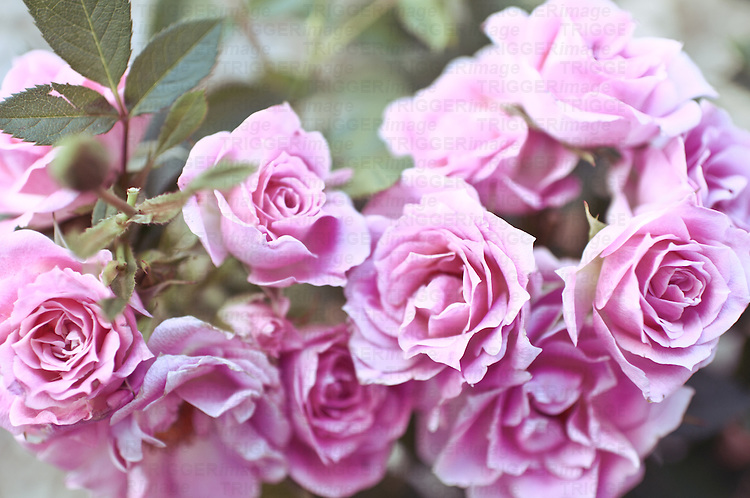 Pink roses on a bush with leaves