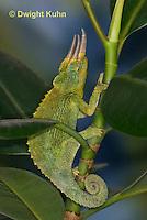 CH36-545z  Male Jackson's Chameleon or Three-horned Chameleon, Chamaeleo jacksonii