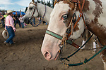 Blue-eyed horse at Clallam County Fair. He's a paint horse with one blue eye and one brown eye, like an Australian Shepherd dog. Waiting his turn for the barrel racing.