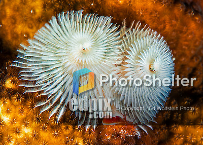 25 January 2016: A white Christmas Tree Worm (Spirobranchus giganteus) grows on a coral patch at Captain Don's Habitat in Bonaire. Bonaire is known for its pioneering role in the preservation of the marine environment. A part of the Netherland Caribbean Islands, Bonaire is located off the coast of Venezuela and offers excellent scuba diving, snorkeling and windsurfing.  Mandatory Credit: Ed Wolfstein Photo *** RAW (NEF) Image File Available ***