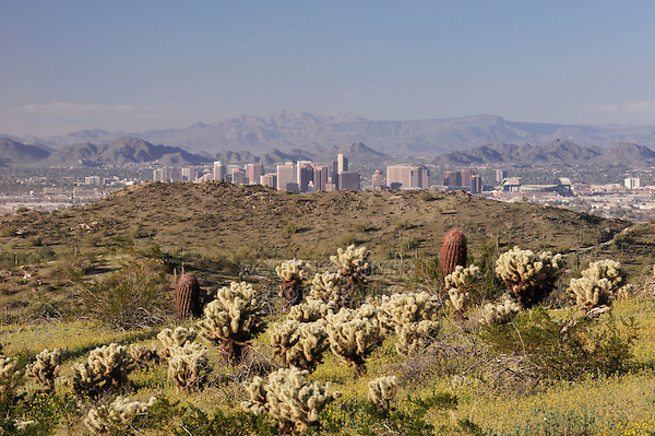 City of Phoenix and Desert in bloom with Cholla Cactus (Opuntia bigelovii), South Mountain Park, Phoenix, Arizona, USA