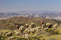 City of Phoenix and Desert in bloom with Cholla Cactus (Opuntia bigelovii), South Mountain Park, Phoenix, Arizona, USA