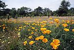 California poppies and vineyard near St. Helena