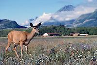 Black-tailed Deer aka Blacktail Deer (Odocoileus hemionus columbianus), Kootenay National Park, BC, British Columbia, Canada - North American Wildlife