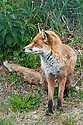 Red fox (Vulpes vulpes), late May.