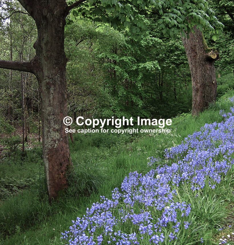 Barnett's Park, Belfast, N Ireland, UK, May 2009, spring, bluebells, trees, woodland, wild, 200905100088..Copyright Image from Victor Patterson, 54 Dorchester Park, Belfast, UK, BT9 6RJ..Tel: +44 28 9066 1296.Mob: +44 7802 353836.Voicemail +44 20 8816 7153.Skype: victorpattersonbelfast.Email: victorpatterson@mac.com.Email: victorpatterson@ireland.com (back-up)..IMPORTANT: If you wish to use this image or any other of my images please go to www.victorpatterson.com and click on the Terms & Conditions. Then contact me by email or phone with the reference number(s) of the image(s) concerned.