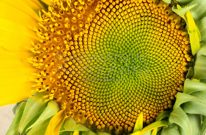 SUNFLOWER: FIBONACCI SEQUENCE IN SEED PATTERN