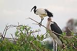 Sacred ibis (Threskiornis aethiopicus) and marabou stork (Leptoptilos crumeniferus), Moremi Reserve, Okavango Delta, Botswana