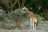 The Rothschild giraffe is one of the most endangered giraffe species. It is easily recognizable by its orange-brown dark patches and the impression that it is wearing white socks. There are only a few hundred remaining in the wild. The bark of the yellow-bark acacia tree is a favorite food.