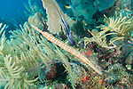 Gardens of the Queen, Cuba; a Trumpetfish attempts to camouflage itself against a sea rod on the coral reef