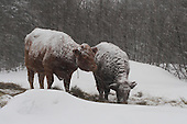 Beef cow and her calf eating hay in pasture during a winter snowstorm, Salers cattle in Quebec Canada