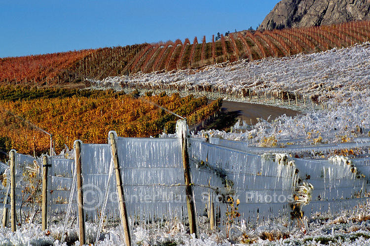 Ice Covered Vineyard in preparation for Ice Wine Harvest, South Okanagan Valley, BC, British Columbia, Canada, Autumn / Fall