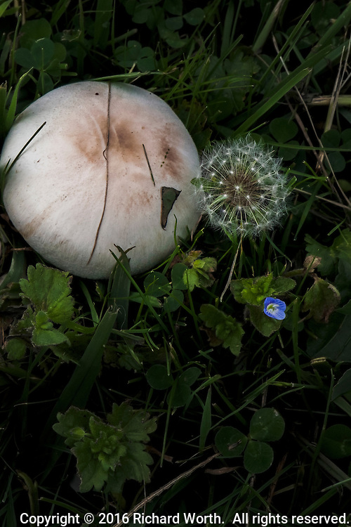 Close-up of a mushroom, a seed-head, a blue and yellow flower, green grass and leaves - foliage.