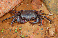 Land Crab (Cardisoma carnifex), one of the many freshwater crab species of Socotra, Yemen.