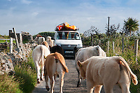 Galway, Ireland, August 2013. cows block the road of the support van. Duncan Warner of Give it a Go Sea Kayaking takes us along the Galway coast of west Ireland to Connamara, Slyne Head, Streamstown, Ballinakill harbour, Cladaghduff, Old Head Campsite near westport and clew bay.  Photo by Frits Meyst/Adventure4ever.com