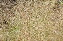 Deschampsia cespitosa 'Goldtau', early August. Sometimes known as 'Golden Dew'.